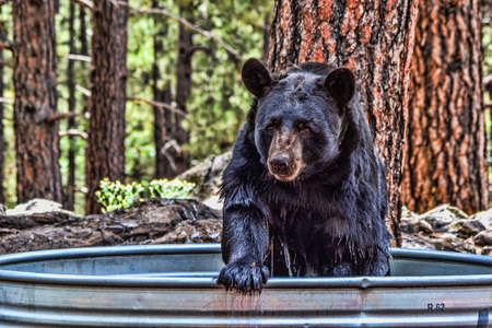 wet bear: Black bear bathing in a tub Stock Photo
