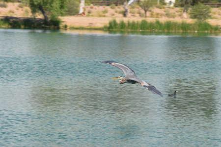 birds desert: Blue Crane flying over a lake Stock Photo