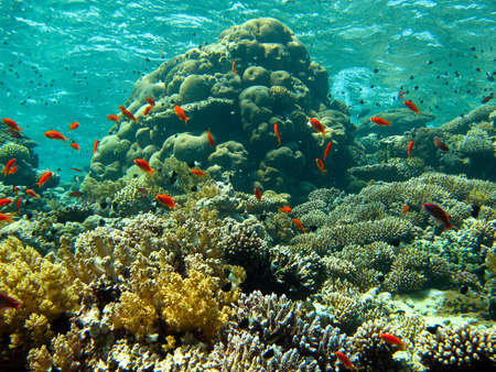 pristine coral reef: Coral Garden at the Jackson Reef in the Red Sea