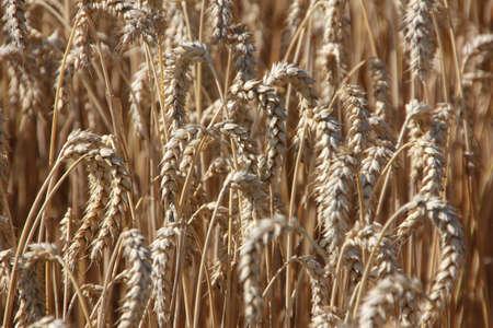 Closeup of a wheat field in late summer