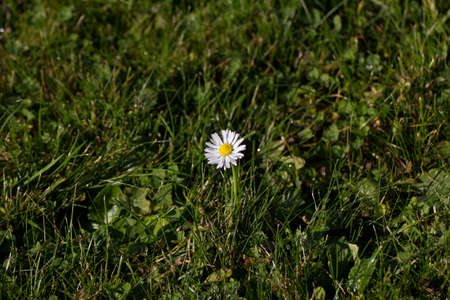 virginity: Lonely daisy on a cut lawn during fall times