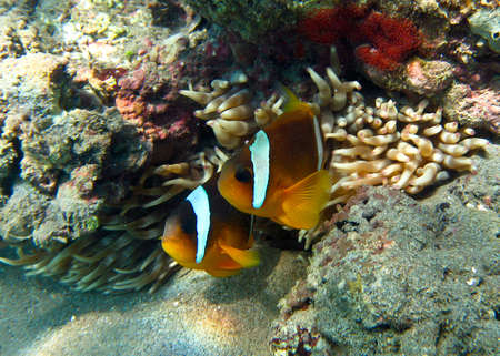 pristine corals: A couple of Red Sea Clownfish Nemo  looking out of an Anemone