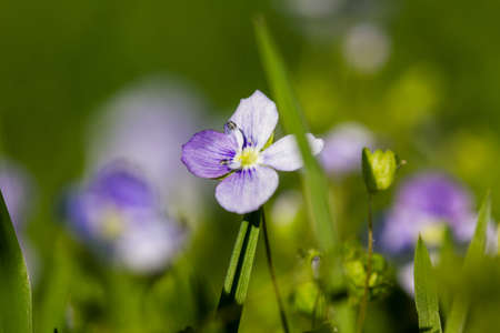 gynoecium: Macro of a purple lady smock  Cardamine pratensis  in spring on a meadow