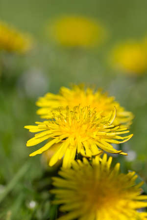 gynoecium: Closeup of yellow dandelions in full bloom on a meadow in spring