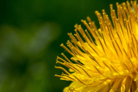 gynoecium: Extreme Macro of a Dandelion Blossom in full bloom in spring in front of dark green background