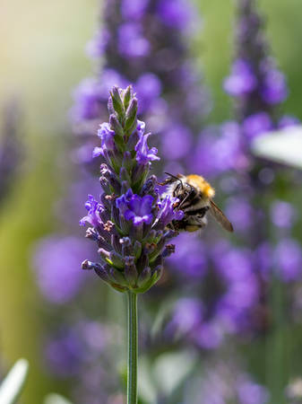 Macro of a furry bee collecting pollen from a lavender blossom