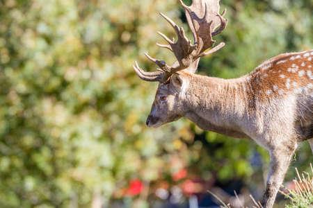 pelage: Closeup of a Fallow Deer buck in summer pelage