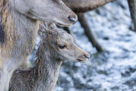 soppy: Red deer fawn  Cervus elaphus  covered in wet mud