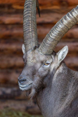 buck teeth: Portrait of a stern looking alpine Ibex