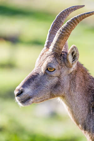 allgau: Closeup of the profile of an Alpine Ibex or Steinbock doe