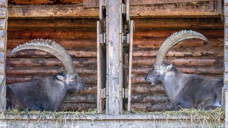 capricornus: Two Alpine Ibex bucks sitting in a wooden shelter opposite each other
