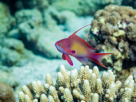 lyretail: Male Anthias  Pseudanthias squamipinnis  hovering over horn corals in the Red Sea