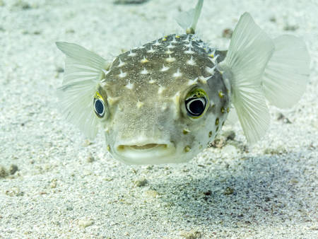 stingers: Cute and confused looking yellowspotted burrfish (Cyclichthys spilostylus) in the Red Sea