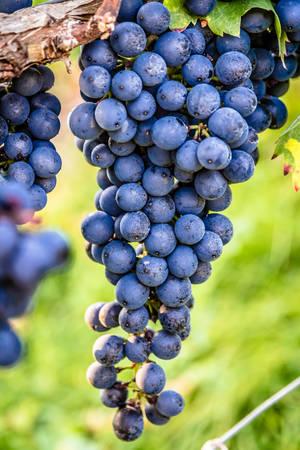 Closeup of the local Trollinger wine grape in a vineyard in Stuttgart, Germany Standard-Bild