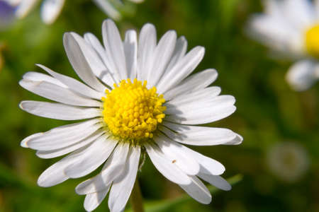 carpels: Macro shot of a common daisy (Bellis perennis) on a lawn Stock Photo