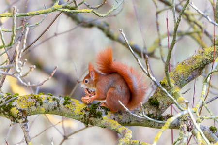 European red squirrel sitting on a tree branch, chomping on a walnut