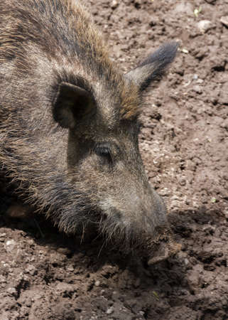 proboscis: Wild Boar digging with its proboscis in the mud