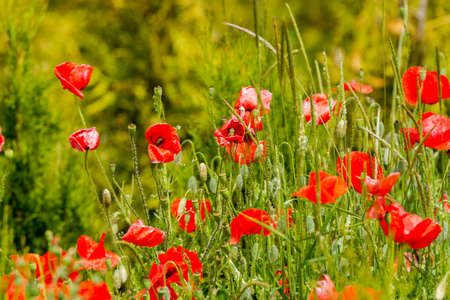 Closeup of a field of red poppy