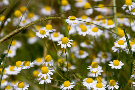 matricaria recutita: Closeup of a field of chamomile flowers Stock Photo