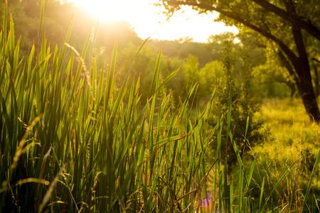 Vibrant meadow grass close up on sunset. Bright local landscape image. Standard-Bild - 109978410