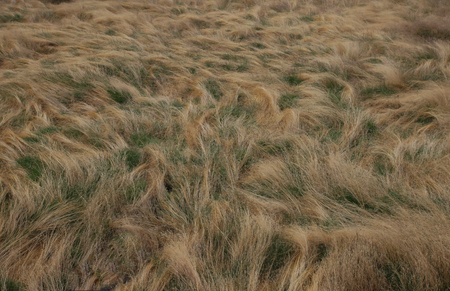 waves of dry grass