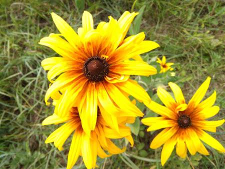 Three Bright autumn yellow chrysanthemum flowers bossoms in garden