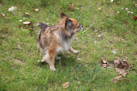 A small red chihua-hua dog on a green grass. Domestic animals.