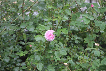 Light Pink wild rose on a green bush. Nature in summer. Greenery beautiful background.