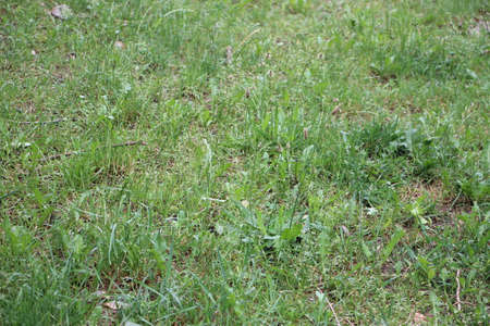 A green summer grass grows in the field, summer nature background texture.