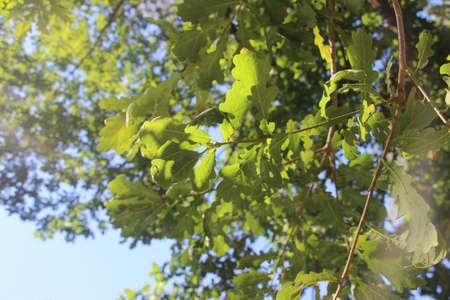 A green tree leaves under sunny blue sky and sun rays. Summer nature. Banque d'images