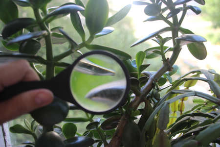 Crassula plant leaves under magnifying glass in hands of scientist naturalist. Investigations concept. Banque d'images