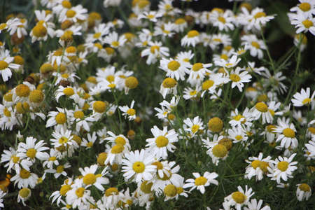 Field of daisies camomiles at sunlight. Natural cute background.