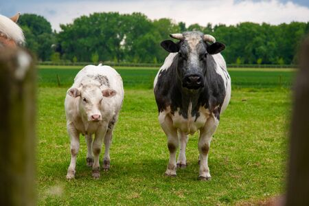 Two Belgian blue cows & bull looks at camera in green meadow