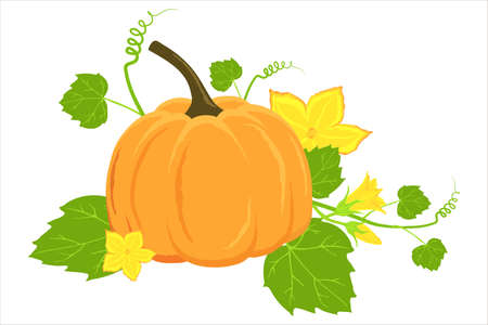 Hand drawn ripe pumpkin and flowers isolated on a white background. Vector pumpkin illustration for autumn banner, thanksgiving, recipes, menus, and harvest festivals.