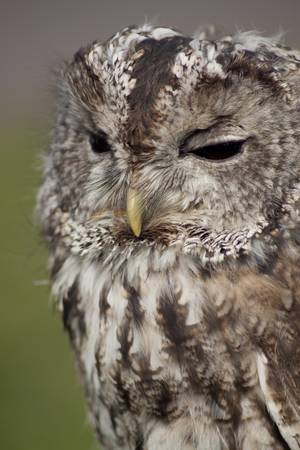 Small tawny owl with black eyes