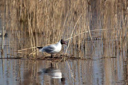 Seagull with open beak Stock Photo - 13286230