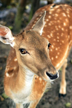 Deer with big eyes photo