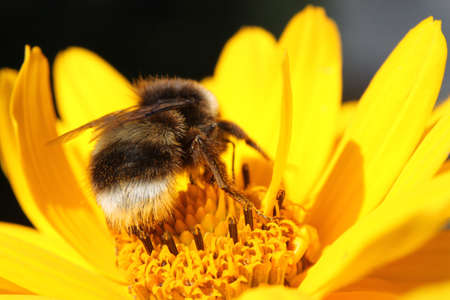 Bumble bee on the yellow flower photo