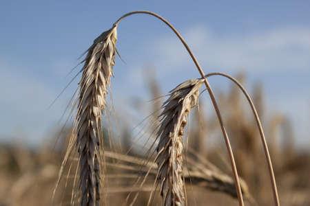 Ears of grain in the sky photo