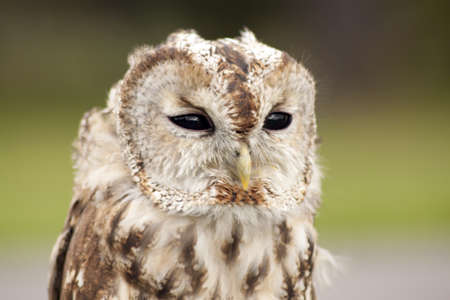 Small tawny owl with black eyes  Stock Photo