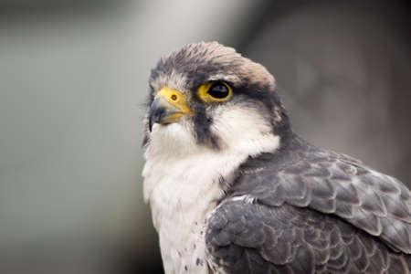 Grey falcon with yellow nib photo