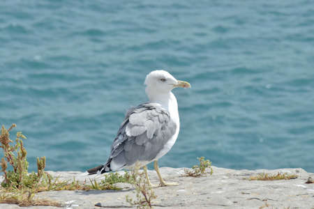 Seagull close up with sea on the background Banco de Imagens