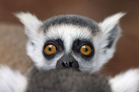 baby lemur on its mothers back