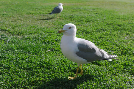 A seagull in front focused and another one on the back unfocused and smaller