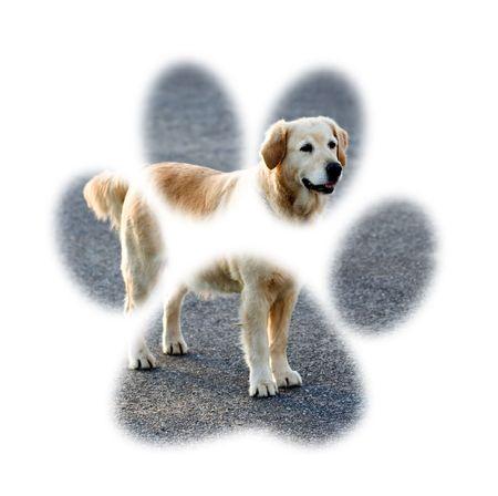 sidewards: golden retriever dog - paw