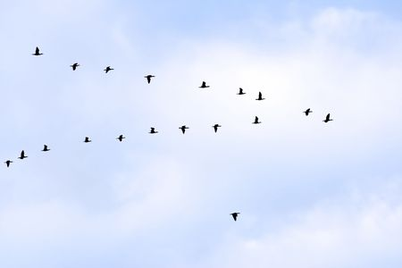 flocking: birds in classic V formation