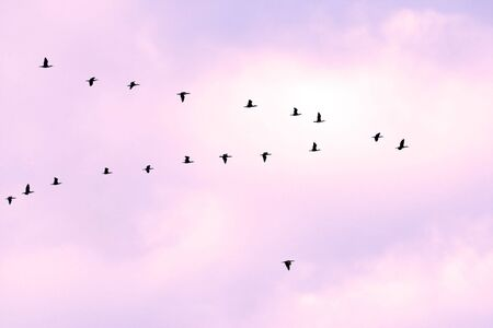 birds in classic V formation