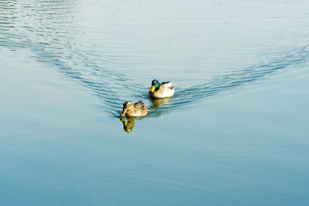 two ducks on a pond photo