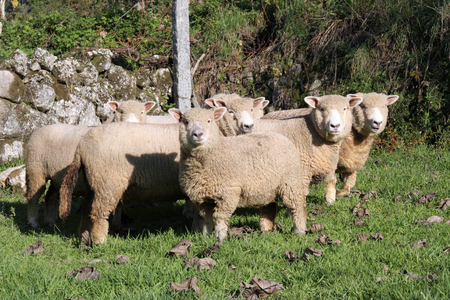 A selection of sheep in the mob stand looking curiously at the camera. Stock Photo