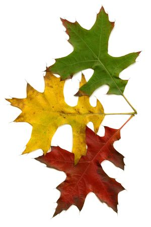 three autumn leaves (green, yellow and red) isolated on white background photo